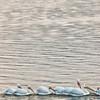 Pelícanos Borregones en Petatán