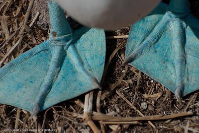 Bobos o piquero patas azules - blue-footed boobie