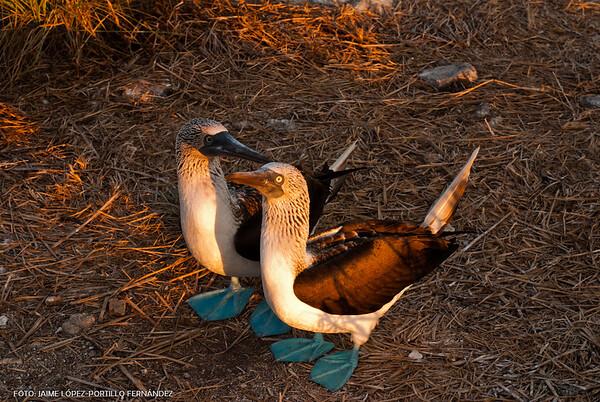 Pareja de bobos patas azules - couple of blue-footed boobies