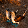 Pareja de bobos patas azules - couple of blue-footed boobies