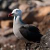 Gaviota ploma - Heermann's Gull