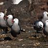 Gaviotas plomas - Heermann's Gulls