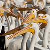 Pelícanos borregones