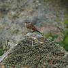 Stenskvätta - ungfågel (tror vi)