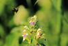 Humla lämnar blomma - Trädgården i Nöbblöv