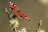 Fjäril i Falstrerbo
