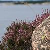 Ljung på bohusgranit - Vid Sveriges västligaste punkt på fastlandet