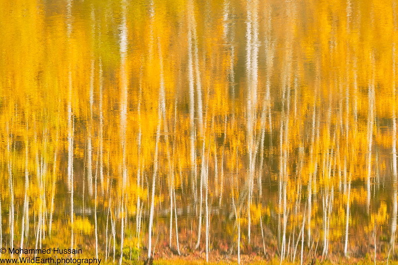 Reflected Aspen Trees, Lizard Head Pass, Ophir, CO