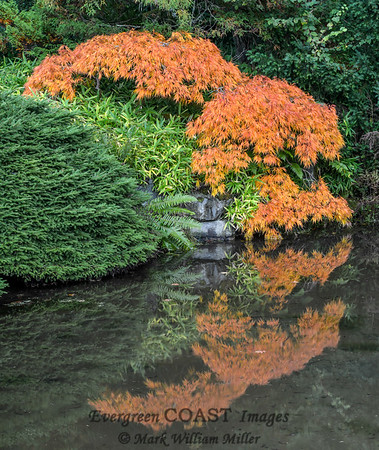 Japanese Maple: Arc and Flow