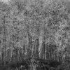 Grove of Frozen Thread