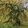 Mossy Maple