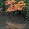 Japanese Maple as Bird: Flying / Seeing