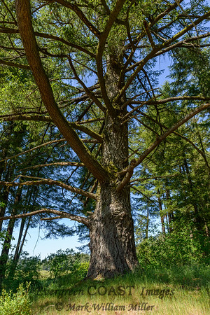 Mima Tree
