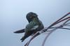Anna's Hummingbird preening
