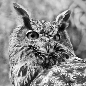 European Eagle Owl,  Arizona