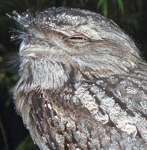 Tawny frog mouth, near Brisbane, Queensland,  Australia