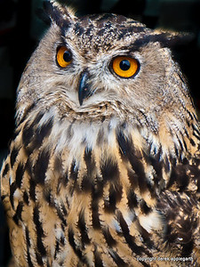 European Eagle Owl, Inverness, Scotland