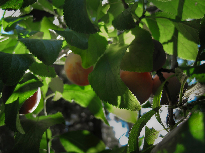 Plums are Ripe