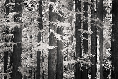 infrared redwood trees (sequoia semprivirens) taken in the Santa Cruz Mountaind off of Stetson road, Caliofornia