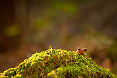 Ensatina eschscholtzii xanthoptica - Yellow-eyed Ensatina,
