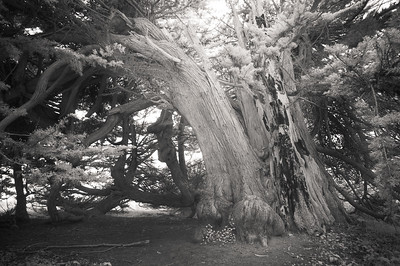 Infra red cypress tree located in Lighthouse field, Santa Cruz California