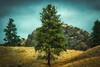 Pine on Peak