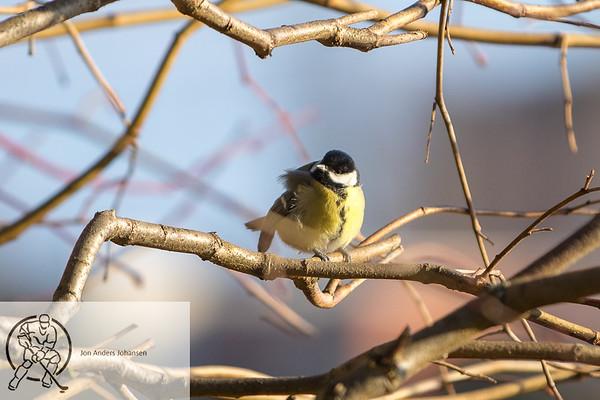Småfugler i Hafslundparken, 3.2.18