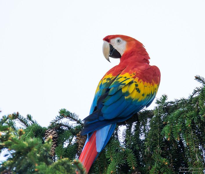 Größe 40 schnüren in verschiedene Farben ara papegøye - Naturfotografen