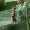 Syrekveldfly larve