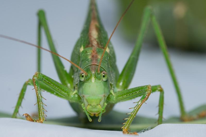Stor løvgresshoppe