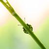 Grønn breitege