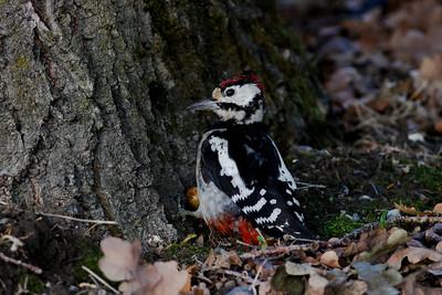 Fugler m sort/mørk bakgrunn /Birds with black/dark background