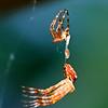 Korsedderkopp, hamskifte
