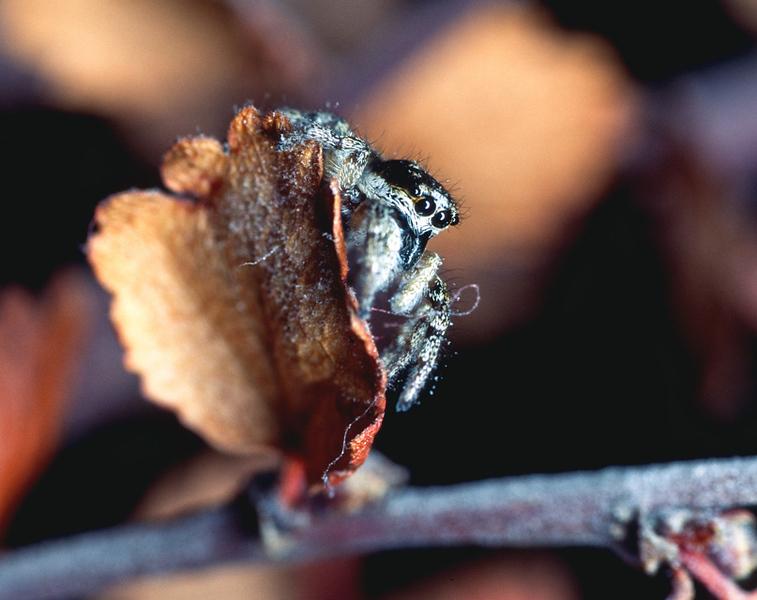 Hoppedderkopp