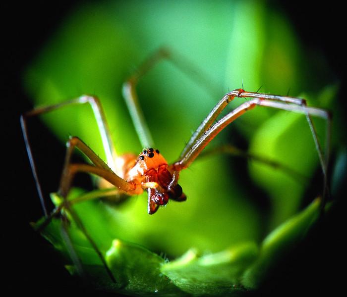 Hann edderkopp