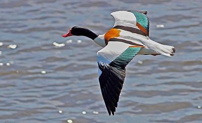 Fugler i flukt, action/ Birds in flight,in action