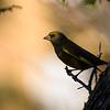 grønnfink ps-005