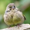 grønnfink ps-9398