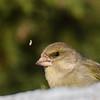 grønnfink ps-042