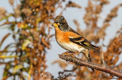 Finker / Finches