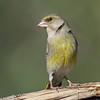 grønnfink ps-040