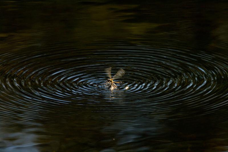 Den kan havne i vannet ved et uhell, men klare å redde seg i på egen hånd.