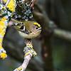 Fuglekonge / Goldcrest