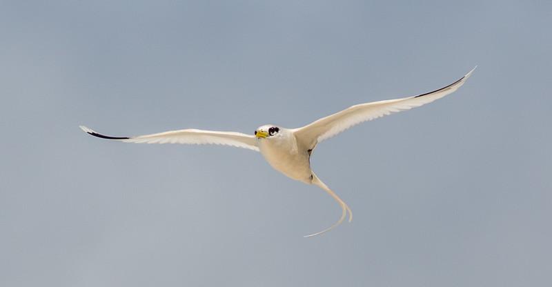 Småtropikkfugl