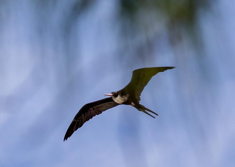 Fregattfugl
