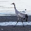 Trane / Common crane