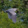 Gråhegre / Grey heron