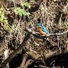 Isfugl / Common kingfisher