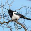 skjære / Eurasian magpie