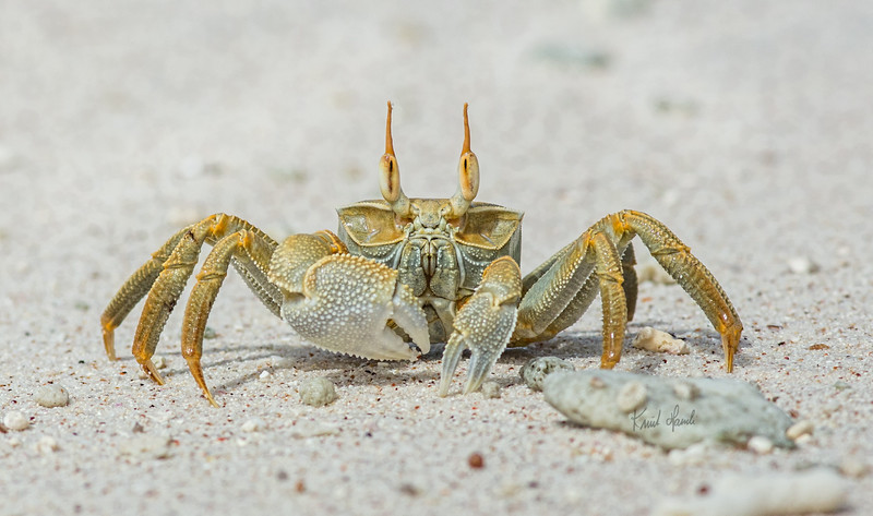 """Ghost crab """"yellow"""""""